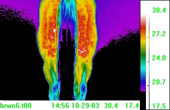 thermal               image equine hind muscle tear