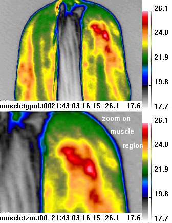 thermal image of horse                                           buttocks with muscle tear