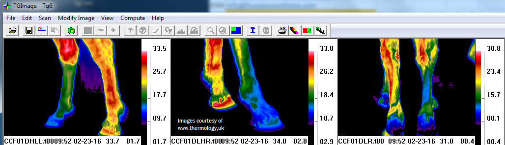 thermal view of horse's legs with                                 nerve damage